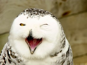 Amazing pictures animals  Photos Zoo pics nature beautiful rare bird Snowy Owl Bubo scandiacus white funny joke humor~06